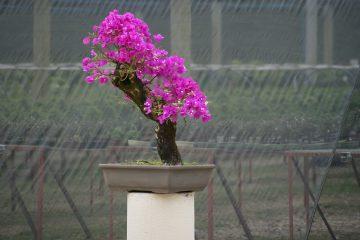 Kwiaty doniczkowe - kwitnące bonsai