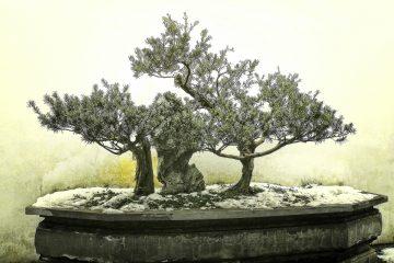 Tajemnica bonsai