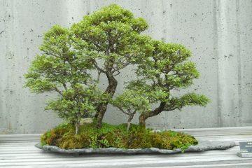 Miniaturowe formowane drzewka