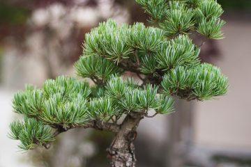 Własne bonsai