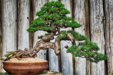 Drutowanie bonsai