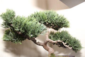 drutowanie drzewek bonsai