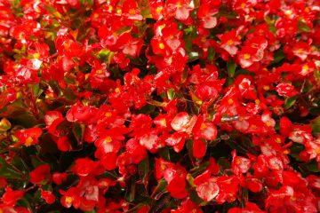Begonia kwiat