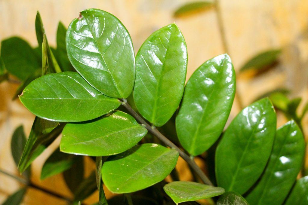 Zamiokulkas zamiolistny - doskonała roślina biurowa