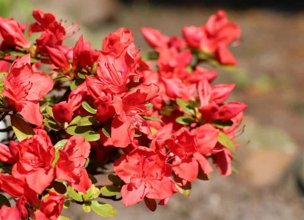 Różanecznik – uprawa i pielęgnacja